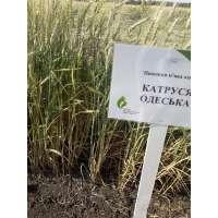 Пшениця озима Катруся Одеська