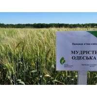 Пшениця озима Мудрість Одеська