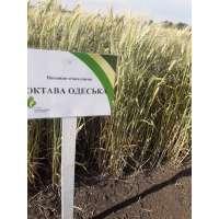 Пшениця озима Октава Одеська