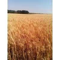 Пшениця озима Оранта Одеська