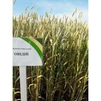 Пшениця озима Овідій