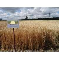 Пшениця озима Пилипівка