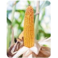 Насіння кукурудзи Бейм