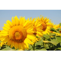 Насіння соняшнику Амато