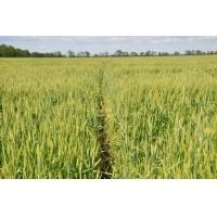 Пшениця озима Бунчук