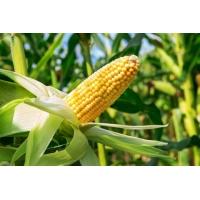 Насіння кукурудзи Катарі КС