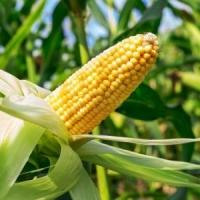 Насіння кукурудзи Деволві КС ФАО 420