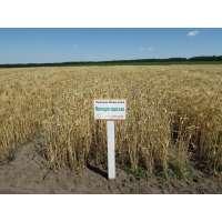 Пшениця озима Мелодія Одеська