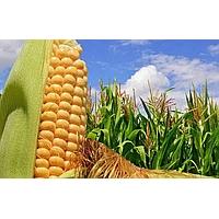 Насіння кукурудзи Шоббі КС