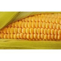 Насіння кукурудзи Трілоджі КС ФАО 370