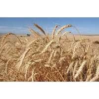 Пшениця озима сорт Гарантія Одеська