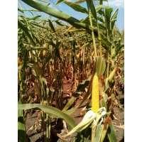 Насіння кукурудзи РАМ 1023 ФАО 230
