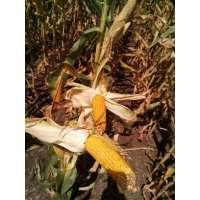 Насіння кукурудзи РАМ 3153 ФАО 250