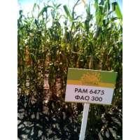 Насіння кукурудзи РАМ 6475 ФАО 300