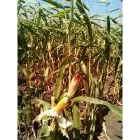 Насіння кукурудзи РАМ 8143 ФАО 260