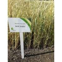 Пшениця озима Богдана