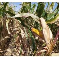 Насіння кукурудзи Моніка 350 МВ
