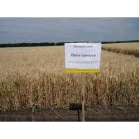 Пшениця озима Нива Одеська