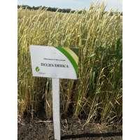 Пшениця озима Подолянка