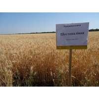 Пшениця озима Шестопалівка
