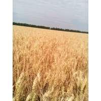 Пшениця озима Місія Одеська