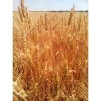 Пшениця озима Благодарка Одеська