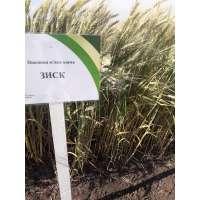 Пшениця озима Зиск