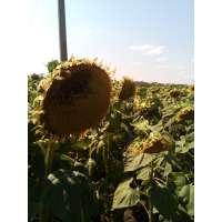 Насіння соняшнику НСХ 978