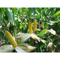 Насіння кукурудзи РАМ 8153 ФАО 340