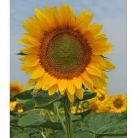 Насіння соняшнику НС Кнез (A-G+)