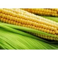 Насіння кукурудзи Почаевский 190 МВ