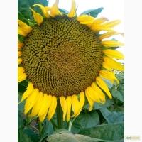 Насіння соняшника Аракар