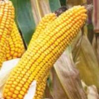 Насіння кукурудзи Тессалі ФАО 310