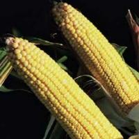 Насіння кукурудзи Кларіті КС ФАО 330