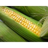 Насіння кукурудзи Портайл ФАО 390