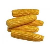 Насіння кукурудзи  Фруктіс ФАО 330