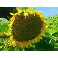 Насіння соняшника Флорімі