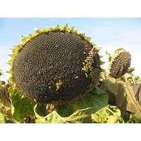 Насіння соняшнику НС Златибор (A-G+)