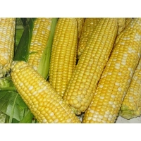 Насіння кукурудзи Подільський 274св  ФАО 270