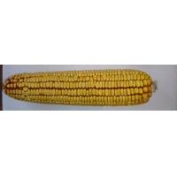 Насіння кукурудзи ДН Пивиха ФАО 180