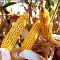 Насіння кукурудзи ДБ Хотин ФАО 280