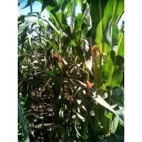 Насіння кукурудзи РАМ 8663 ФАО 340