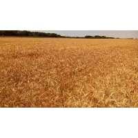 Пшениця озима сорт Палітра Одеська
