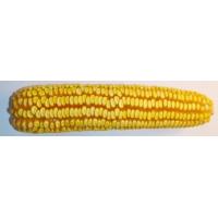 Насіння кукурудзи Дніпровский 257СВ ФАО 290