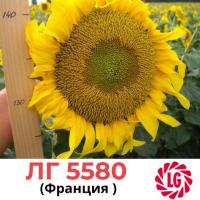 Насіння соняшника LG 5580