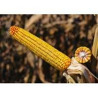 Насіння кукурудзи НС 3030 ФАО 330
