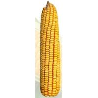 Насіння кукурудзи Солонянський 298 СВ  ФАО 310